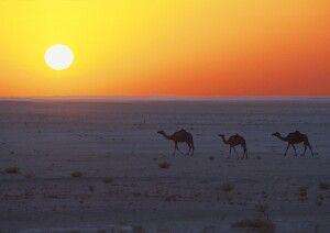 Kamele in der Wahiba-Sands