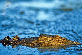 Krokodil im Kakadu Nationalpark Yellow Waters Lagune