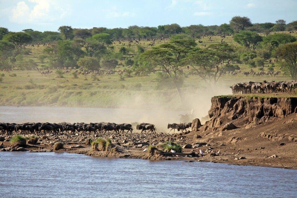 Spektakuläre Flussdurchquerung während der großen Migration