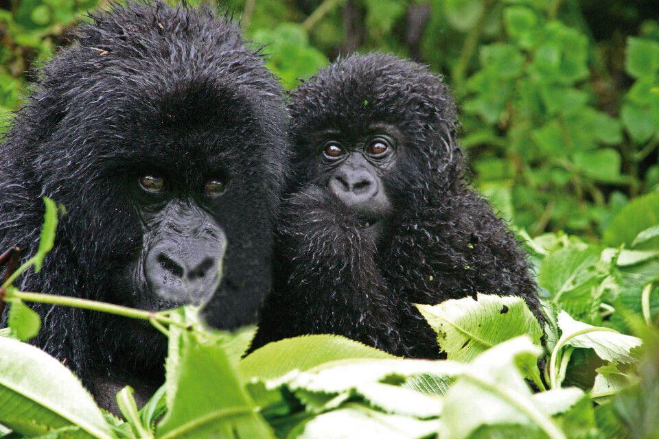 Gorillajunges und seine Mutter