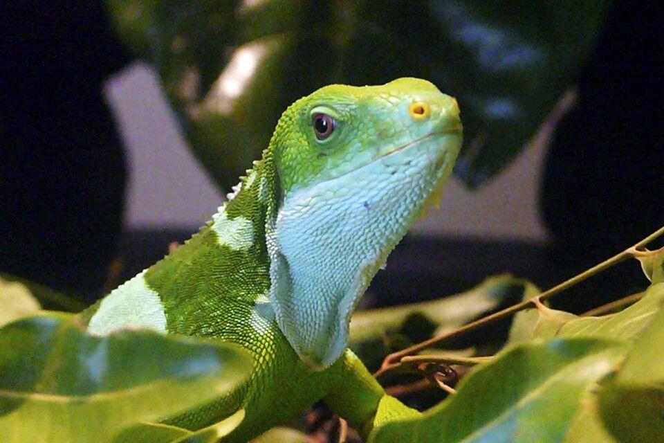 Gecko auf Castaway Island