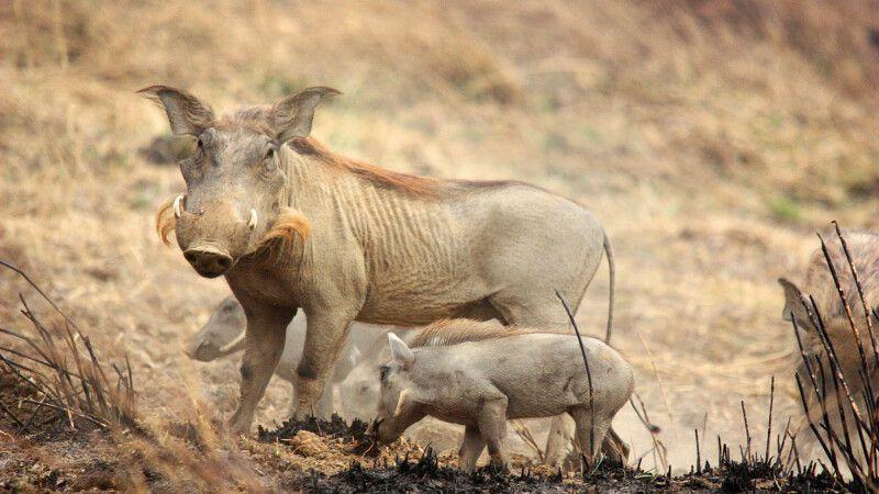 Warzenschweine im Pendjari Nationalpark © Diamir
