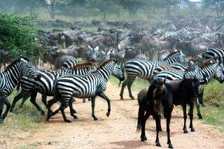 Zebras und Gnus