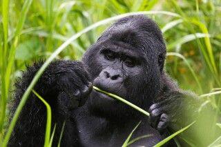Gorilla beim Fressen