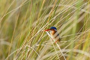 Malachit-Eisvogel, Okavango-Delta