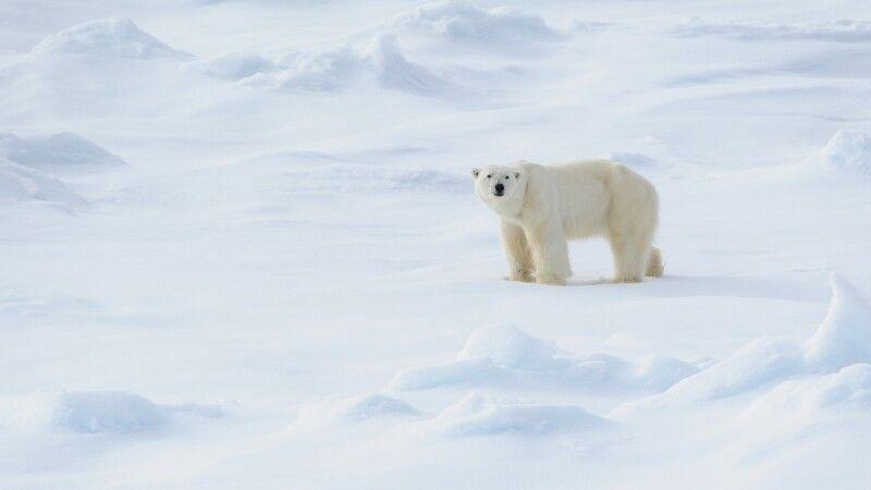 Im Eis zu Hause: Ein Eisbärenmännchen © Diamir
