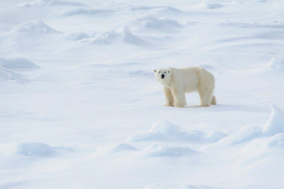 Im Eis zu Hause: Ein Eisbärenmännchen