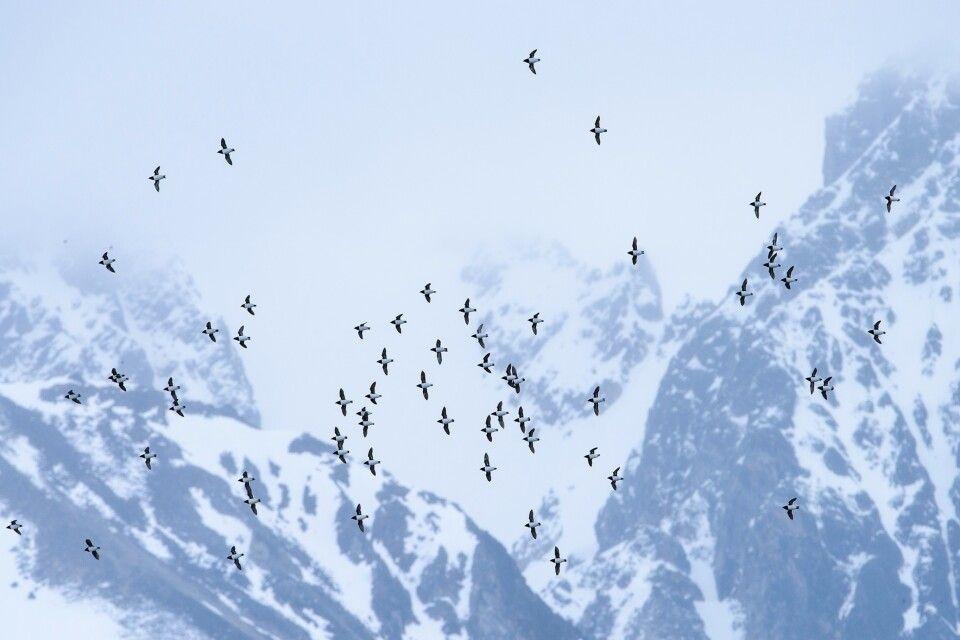 Krabbentaucher vor spitzen Bergen