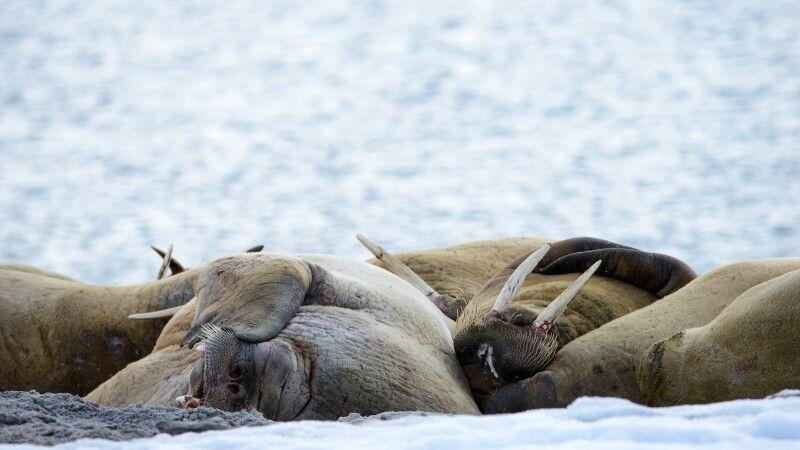 Entspannte Walrosse © Diamir