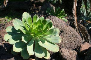 Steingartenpflanze