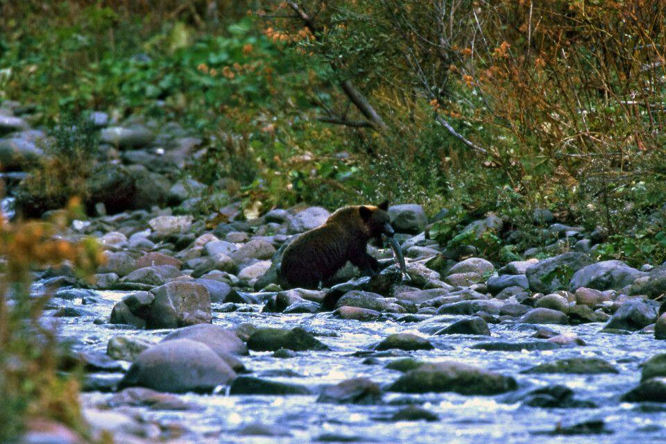 Braunbären auf Hokkaido