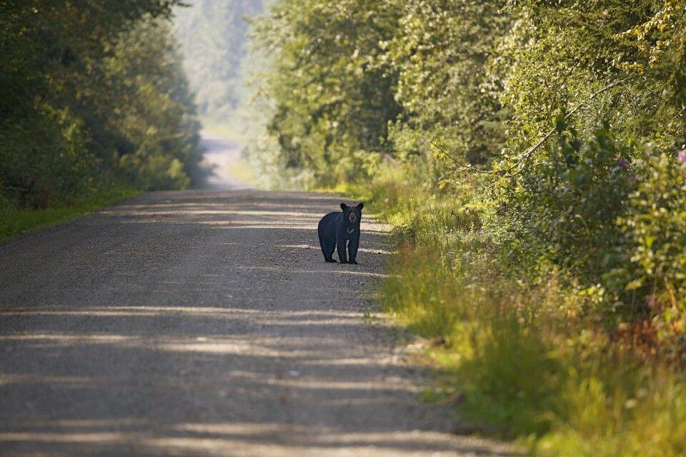 Begegnung mit einem Schwarzbären