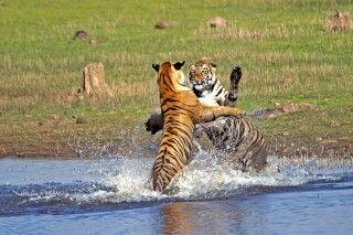 Bengalische Tiger