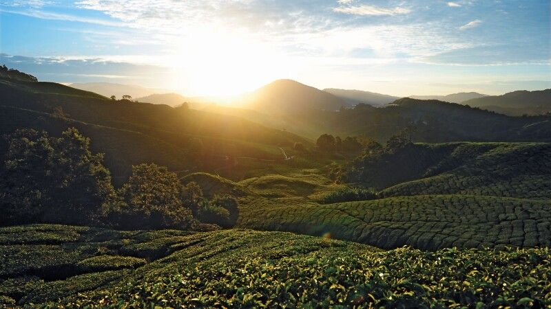 Teeplantagen in den Cameron Highlands © Diamir