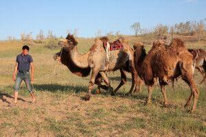 Seidenstraßenfeeling beim Kamelritt in der Wüste