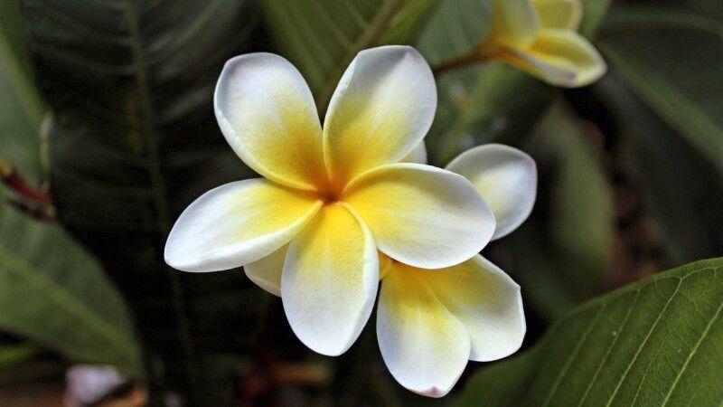 Wunderschöne Franchipani-Blüte © Diamir