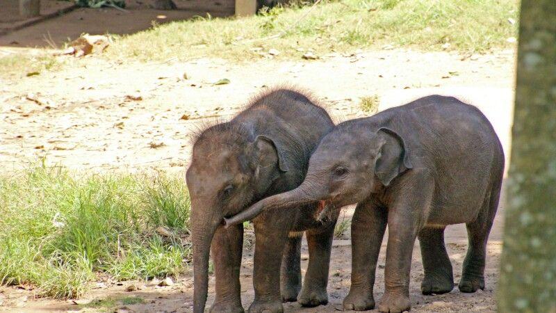 Udawalawe Babyelefanten © Diamir