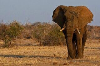 Elefant im Madikwe Game Reserve
