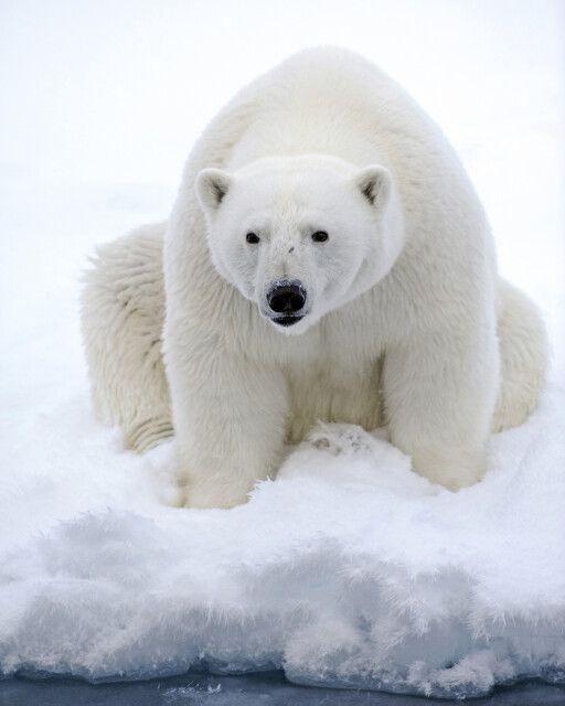 Eisbär – im Packeis entdeckt