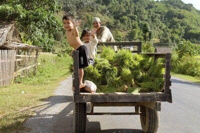 Verbringen der Setzlinge aufs Feld in fröhlicher Gesellschaft