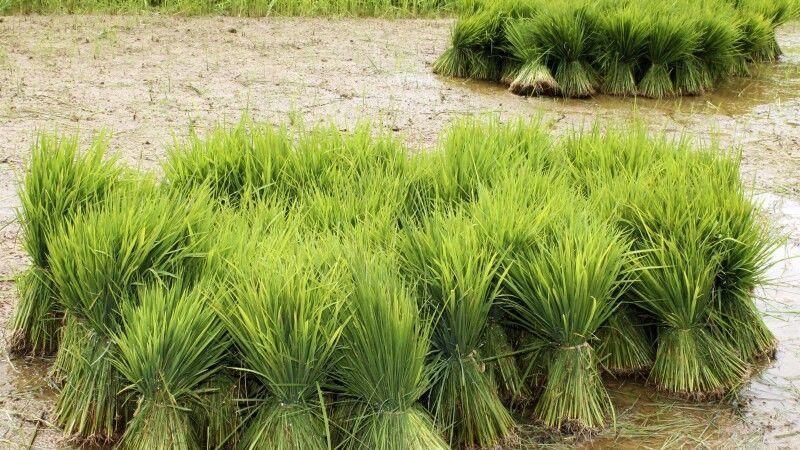 Reisbündel auf einem Feld © Diamir