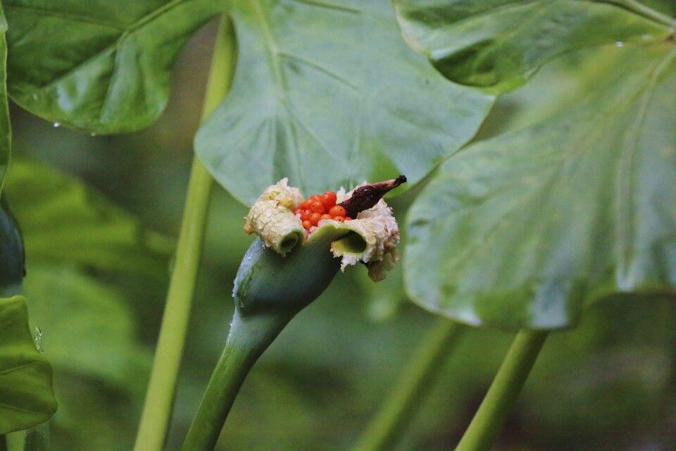 Geöffnete Blüte im Cuc-Phuong-Nationalpark