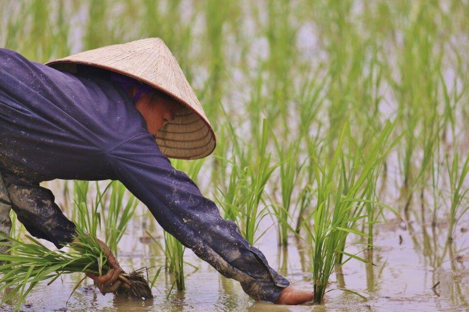 harte Arbeit auf dem Reisfeld