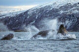 Buckelwale bei Nahrungsaufnahme