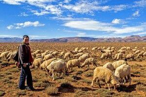 junger Berber mit Schafen