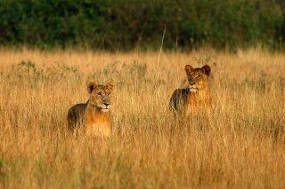 Löwen im Gras