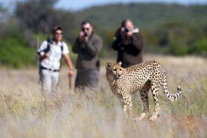 Gepardenbeobachtung zu Fuß