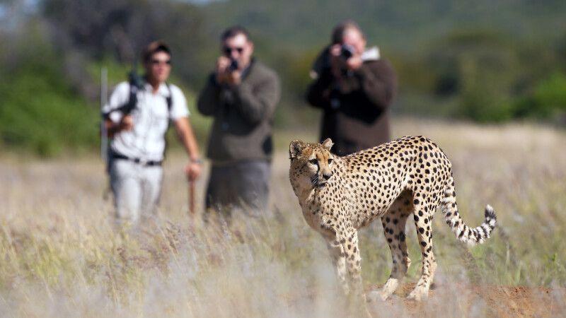 Okonjima: Gepardenbeobachtung zu Fuß © Diamir