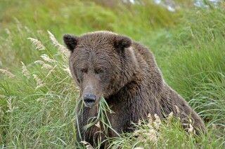 Auch Bären essen manchmal vegetarisch