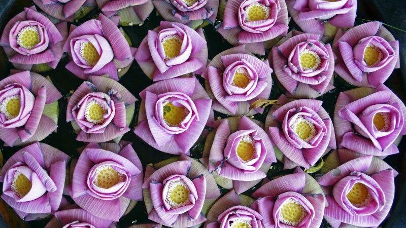 Lotosblüten am Eingang © Diamir
