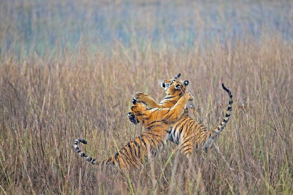 bengalische Königstiger