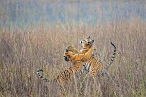 Bengal-Tiger spielend