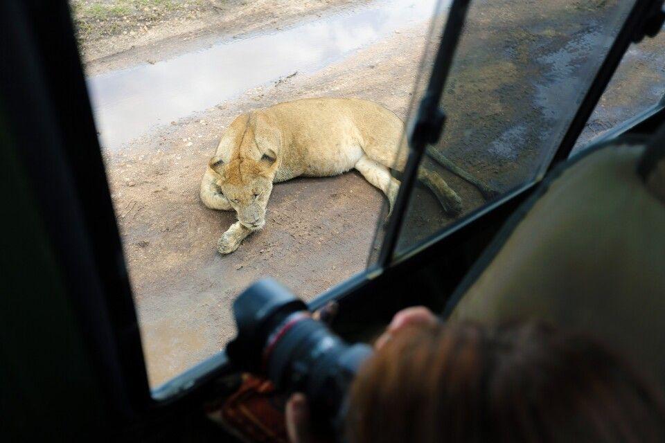 """Das war das """"Setup"""" zur Löwentatze. Wirklich in nächster Nähe zu unserem Auto liegt die Löwin. Was bietet sich da besser an, als eine Detailaufnahme von den beachtlich beeindruckenden Tatzen zu belichten. Zum Fotografieren """"auf Augenhöhe"""" kommt man bei so einer Gelegenheit nicht. Muss man aber auch nicht immer…"""