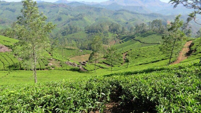 Teeplantagen in Munnar © Diamir