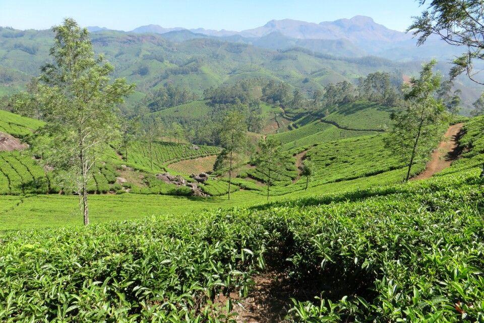 Teeplantagen in Munnar