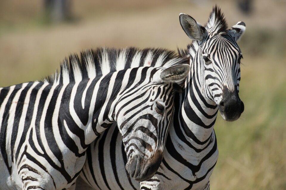 Zebras im Okavango Delta
