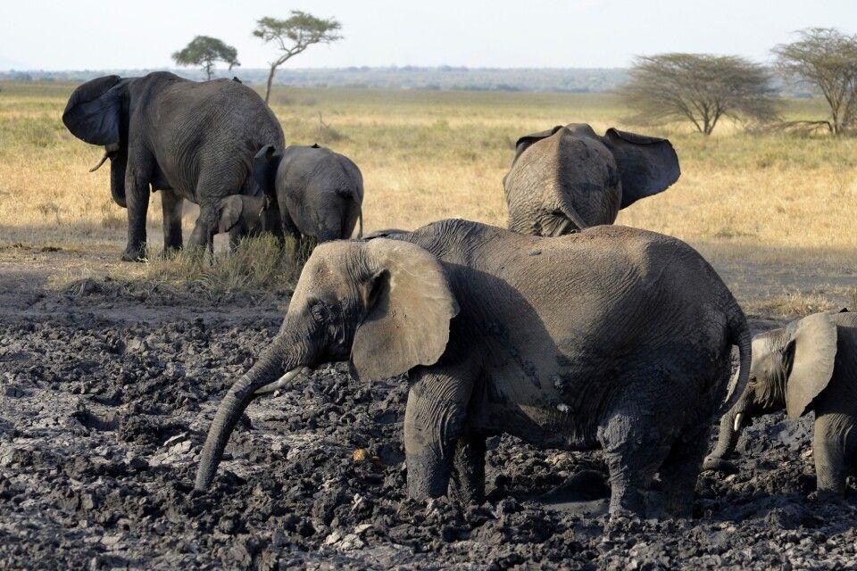 Elefanten beim Schlammbad