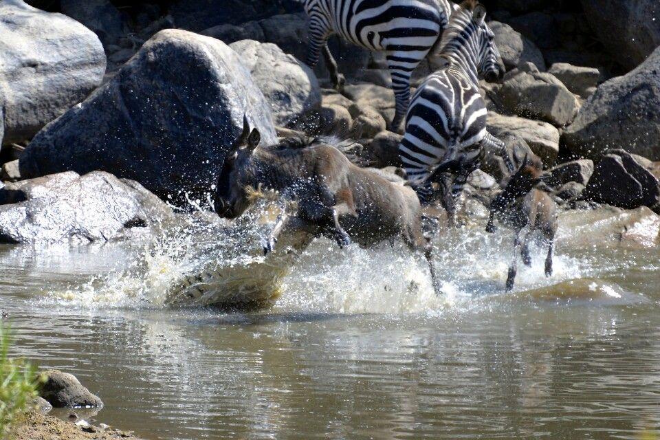 Das Gnu wird bei der Flussüberquerung von einem Krokodil angegriffen