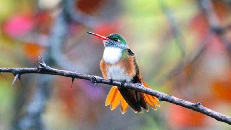 Kolibiri in Mindo © Diamir