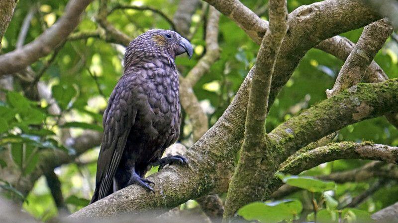 Ein Kaka in Zealandia © Diamir