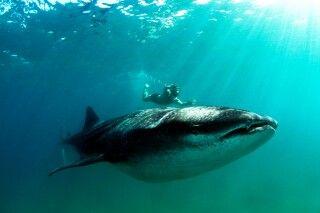 Schwimmen und Schnorcheln mit Walhaien vor der Küste Inhambanes