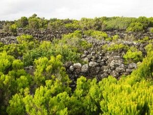 Im UNESCO-geschützten Weinbaugebiet von Pico