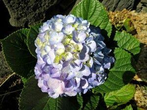 Hortensien im Sonnenschein