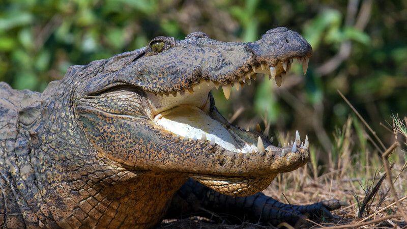 Krokodil © Diamir