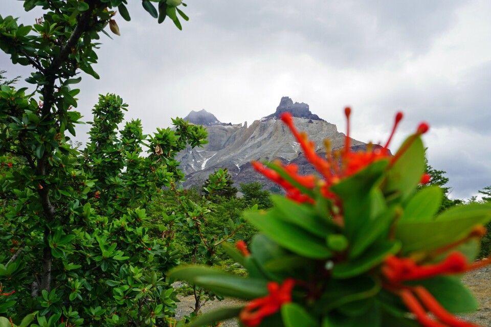 Die Cuernos (Hörner) im Hintergrund und der Feuerbusch im Nationalpark Torres del Paine