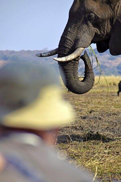 Chobe NP: Näher kann man Elefanten nicht kommen! Bei einer Bootsfahrt auf dem Chobe-Fluss glaubt man, die grasenden Riesen auf der Sedudu-Insel fast zu berühren.